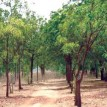 Neem Trees